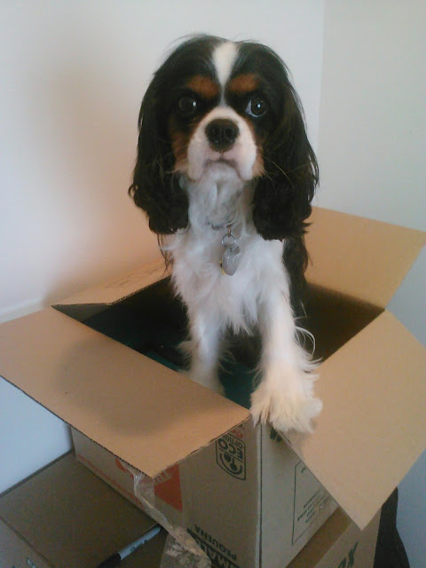 Cavalier King Charles Spaniel Tri-Color Moving Box