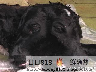 台南 雙頭牛 綠光牧場