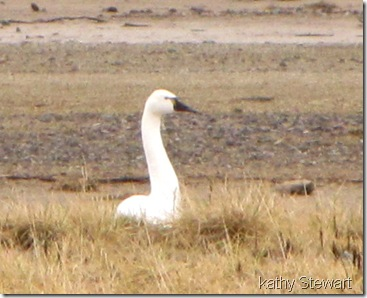 Tundra Swan cropped