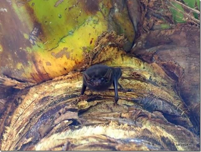 bat_roosting_under_coconut_fronds