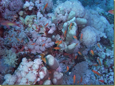 LBS Fish Coral-001