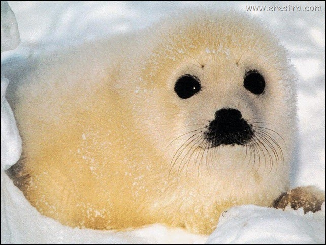 baby_seal_1024