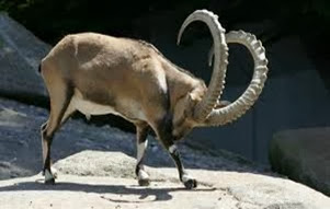 Amazing Pictures of Animals, Photo, Nature, Incredibel, Funny, Zoo, Alpine ibex, Capra ibex, Mammalia, Alex (2)