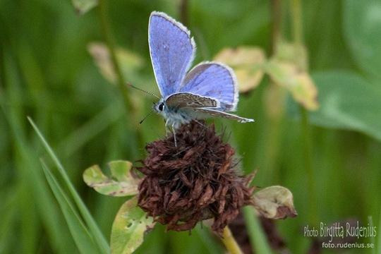 butterfly_20110729_blue1