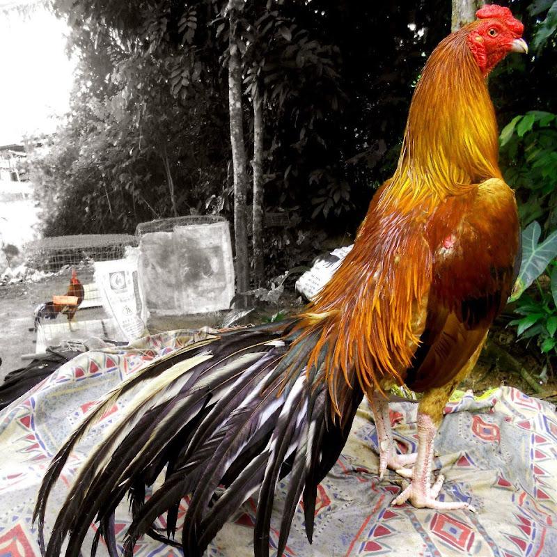 Ayam Laga Ayam Bangkok Aduan Jual Ayam Pakan Obat obatan