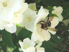 flower..mock orange with bumblebee,jpg