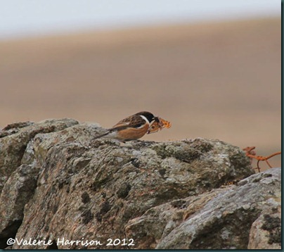 55-stonechat-and-emperor