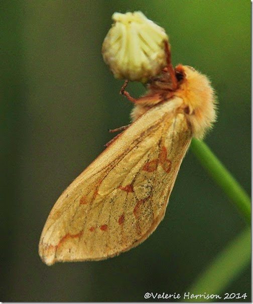 Ghost-Moth-female