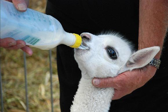 3 week old Alpaca