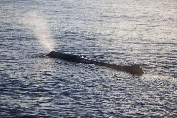 A sperm whale breaches in the Gulf of Mexico. To get a better understanding of the full impact of the 2010 Deepwater Horizon oil spill, renowned marine scientist Roger Payne is looking at sperm whales, one of the largest inhabitants of the Gulf and the largest of the toothed whales. Photo: Sea Shepherd Conservation Society