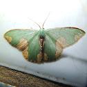 Neotropical Oospila Moth / Oospila Emerald Moth