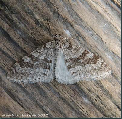 Early-Tooth-Striped-2