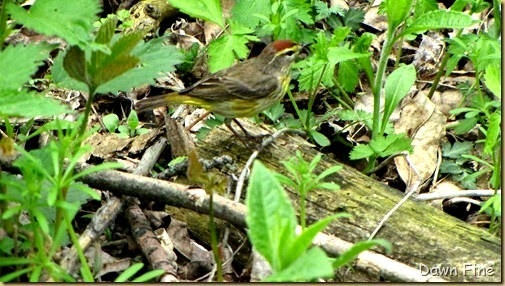 Palm Warbler (4)_thumb_thumb