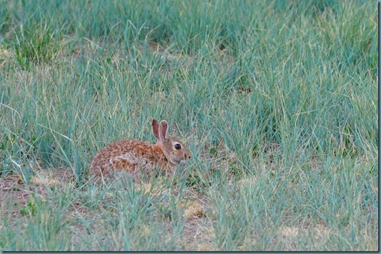 05-09-13 cottontail 1