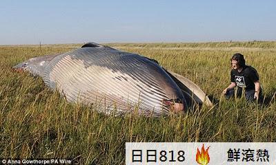 巨大鯨屍 Sei Whale