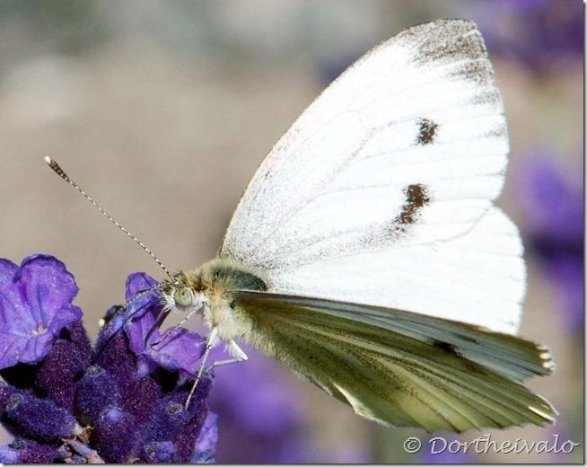 hvidsommerfugl