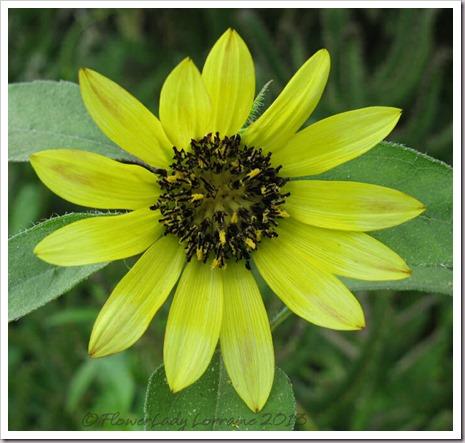 06-23-sunflower