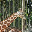 Giraffe at Audubon Zoo