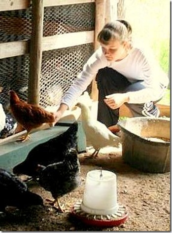 chicken feeding