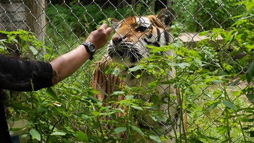 feeding a tiger ice cream - don't try this at home!