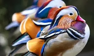 Amazing Pictures of Animals, Photo, Nature, Incredibel, Funny, Zoo, Mandarin Duck, Aix galericulata, Alex (22)