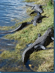 Gators