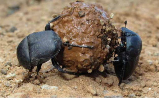 http://lh3.ggpht.com/-nAS1dROGZHg/UQNB9GVjIjI/AAAAAAAAPrw/9Ik4sZD4xH0/kumbang-tinja.jpg