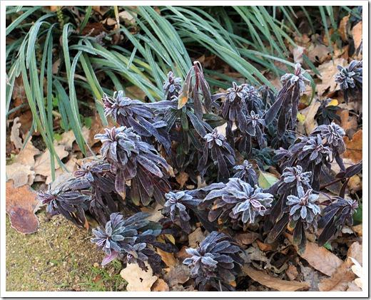 130117_UCDA_Euphorbia_purple_03