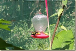 Hummingbird feeding (Small)