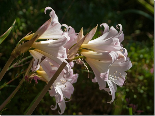 Belladonna Lillies
