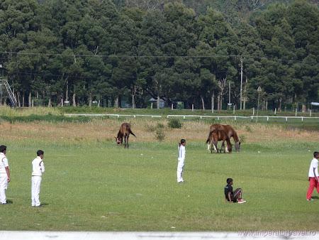 25. cricket printre cai Sri Lanka.JPG
