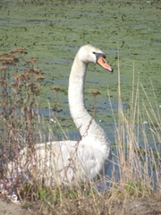 swan at edge of water2