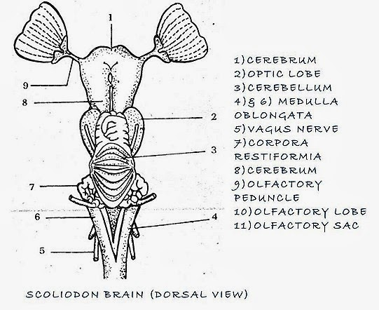 FISH BRAIN ,FROG BRAIN COMPARATIVE ANATOMY | BIOZOOM