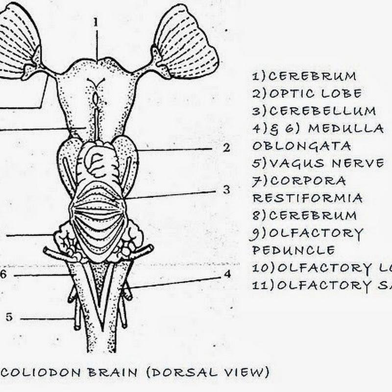 FISH BRAIN ,FROG BRAIN COMPARATIVE ANATOMY | BIOZOOM