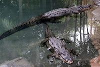 Crocs at Australia Zoo