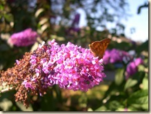 buddleia and skipper
