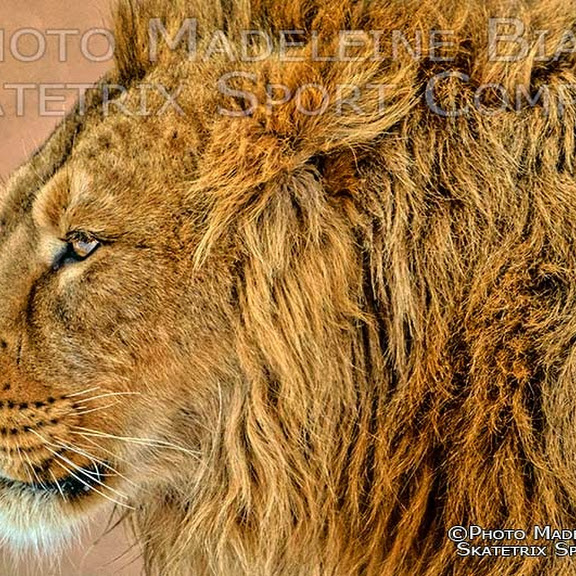 INDIAN LION PHOTO SHOW
