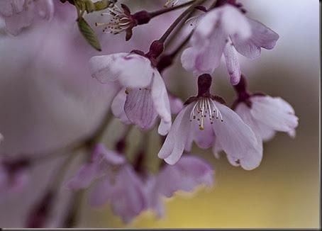 _MG_0235pink_weeping_cherryweb