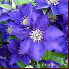 Lady Betty Balfour Clematis