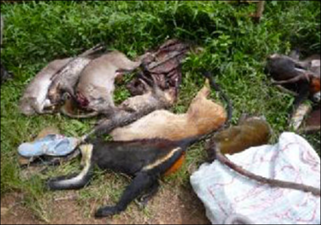 Collection of dead animals for sale at the Daobly Market in the Ivorian town of Taï along the Cavally River, including duikers, porcupines, Diana monkey, lesser spot-nosed monkey, and a collection of dried primate and duiker carcasses. Photo: Ryan Covey