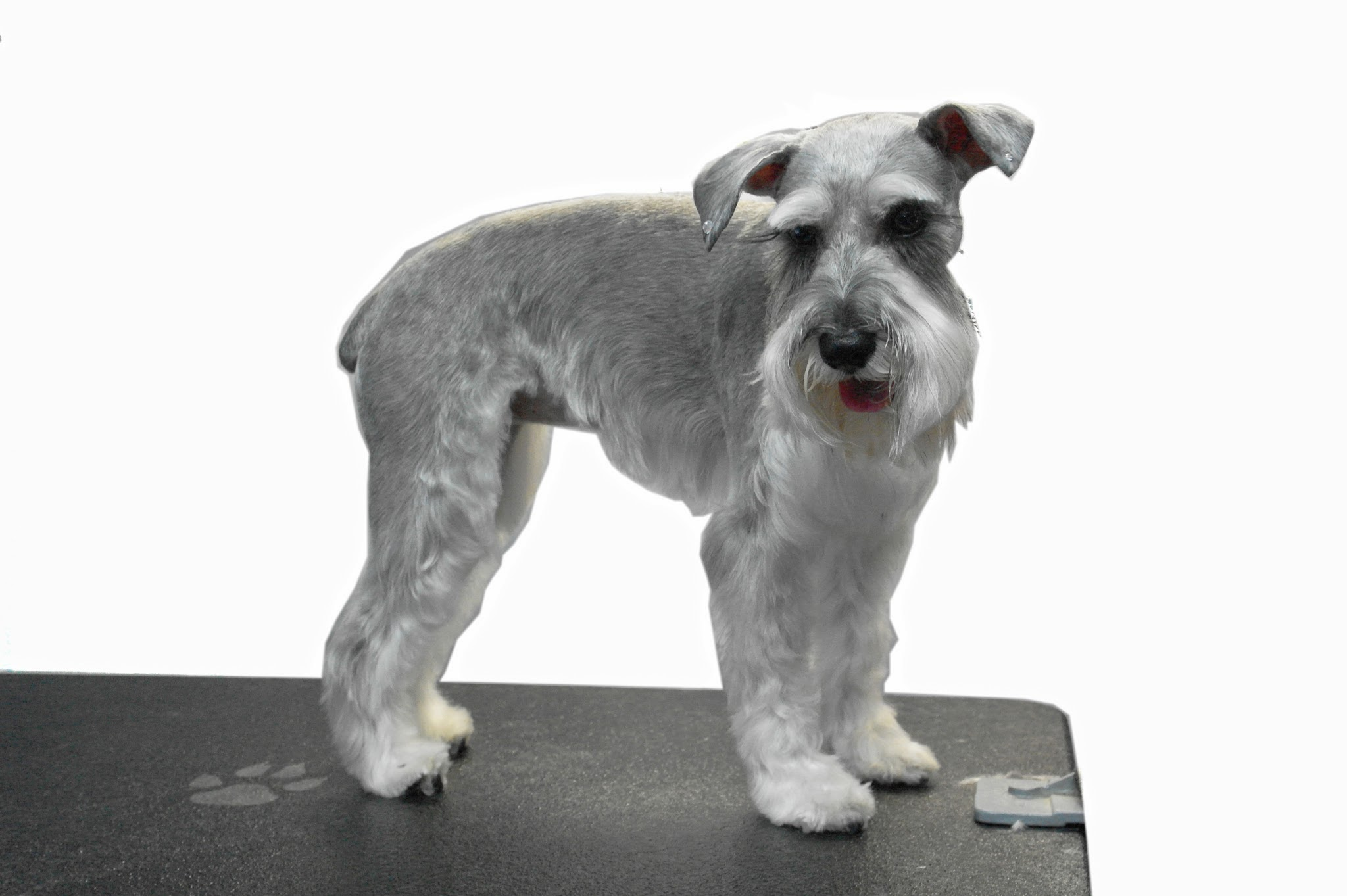 Photo gallery small dogs before and after dog grooming