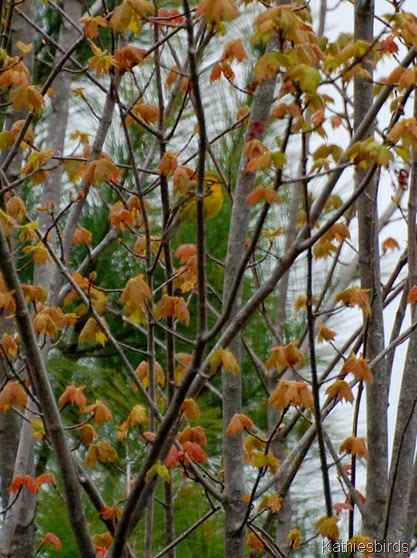 7. prairie warbler-kab
