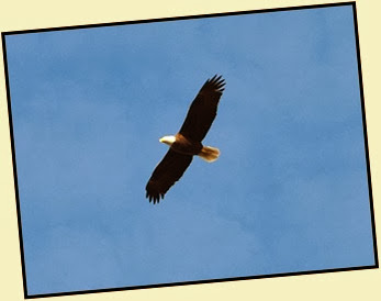 01g - Early Morning Walk - Bald Eagle Overhead