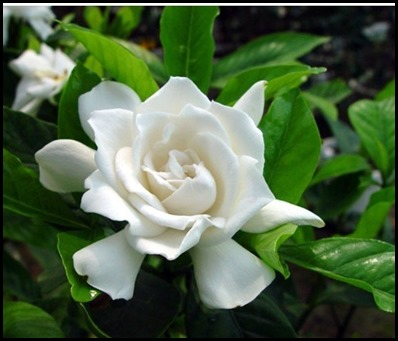 Gardenia5
