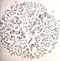 Ophioglossum reticulatum chromosome 
