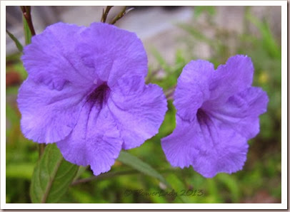 12-25-mexican-petunias