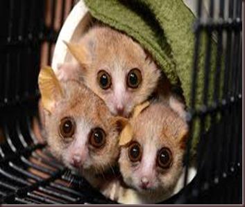 Amazing Pictures of Animals photo Nature exotic funny incredibel Zoo Lemur. Alex (7)
