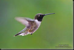 Black-chinned_Hummingbird_Bob_Gress_080628_4849_Colorado