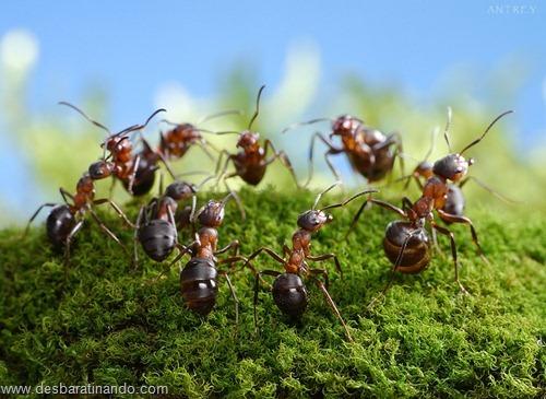 formigas inacreditaveis incriveis desbaratinando  (51)