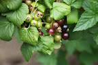 This currant is similar to the red and white varieties, but is much more fragrant with a pleasant sweetness.  Black currants are used to make that delicious liqueur called, crème de cassis.